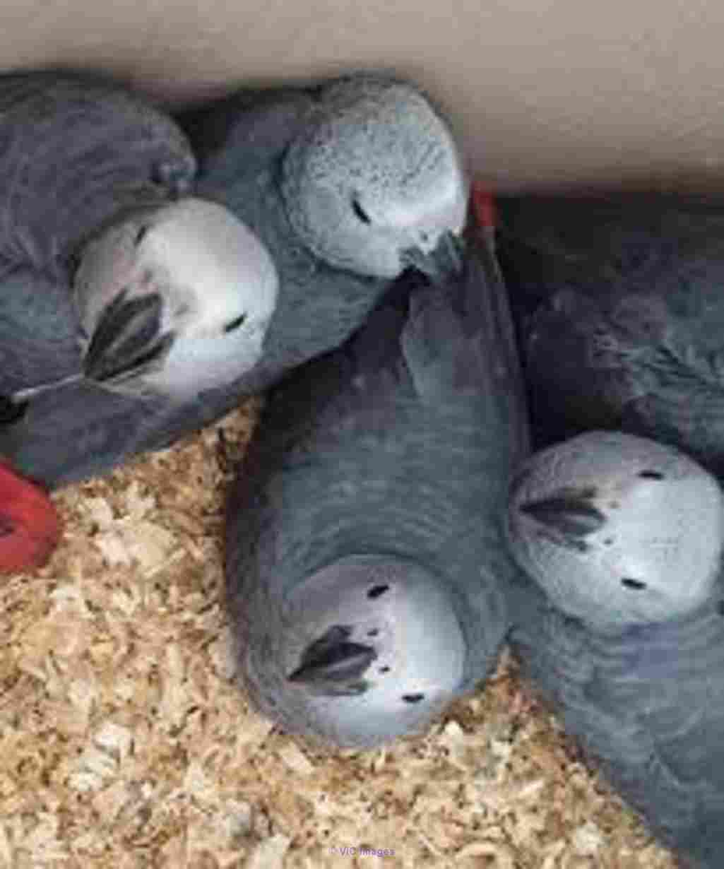 AKC registered African grey parrots Hamilton, Ontario, Canada Classifieds
