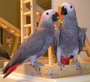 LOVELY PAIR OF AFRICAN GREY PARROTS FOR ADOPTION